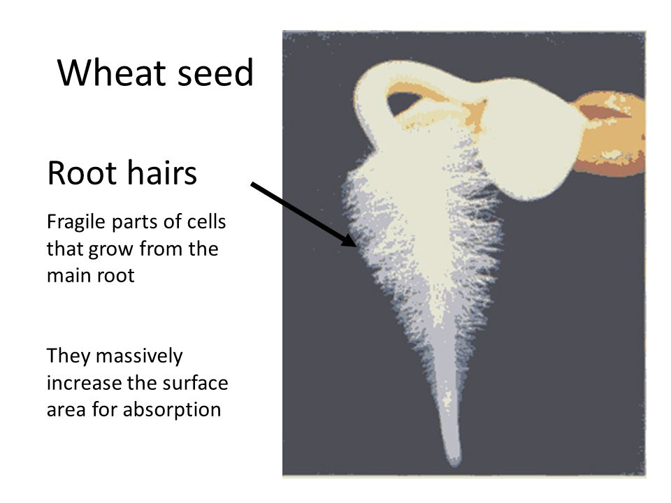 Wheat seed Root hairs. Fragile parts of cells that grow from the main root.