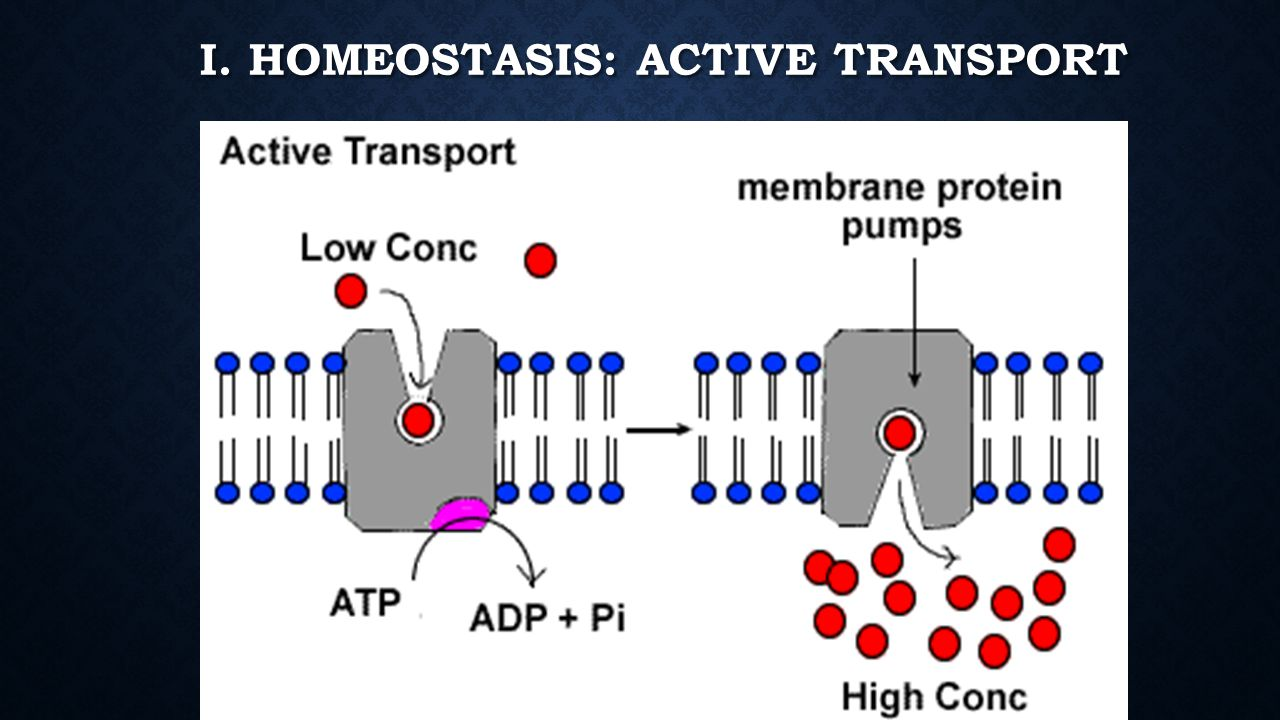 worksheet Homeostasis And Transport Worksheet unit 4 homeostasis and cell transport ppt download 45 i active transport