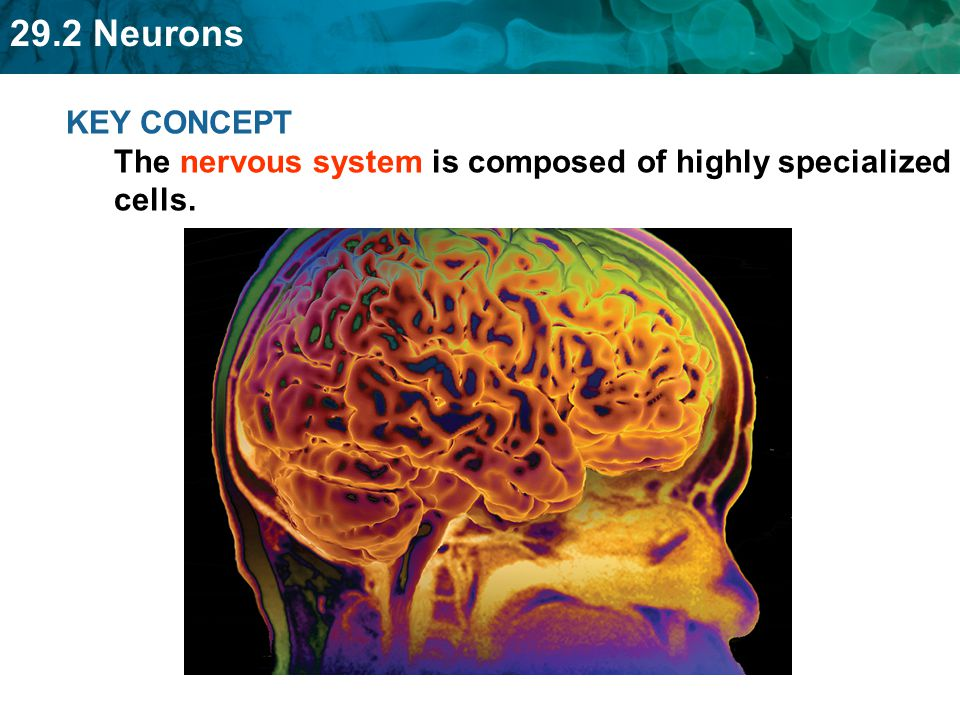 KEY CONCEPT The nervous system is composed of highly specialized cells.