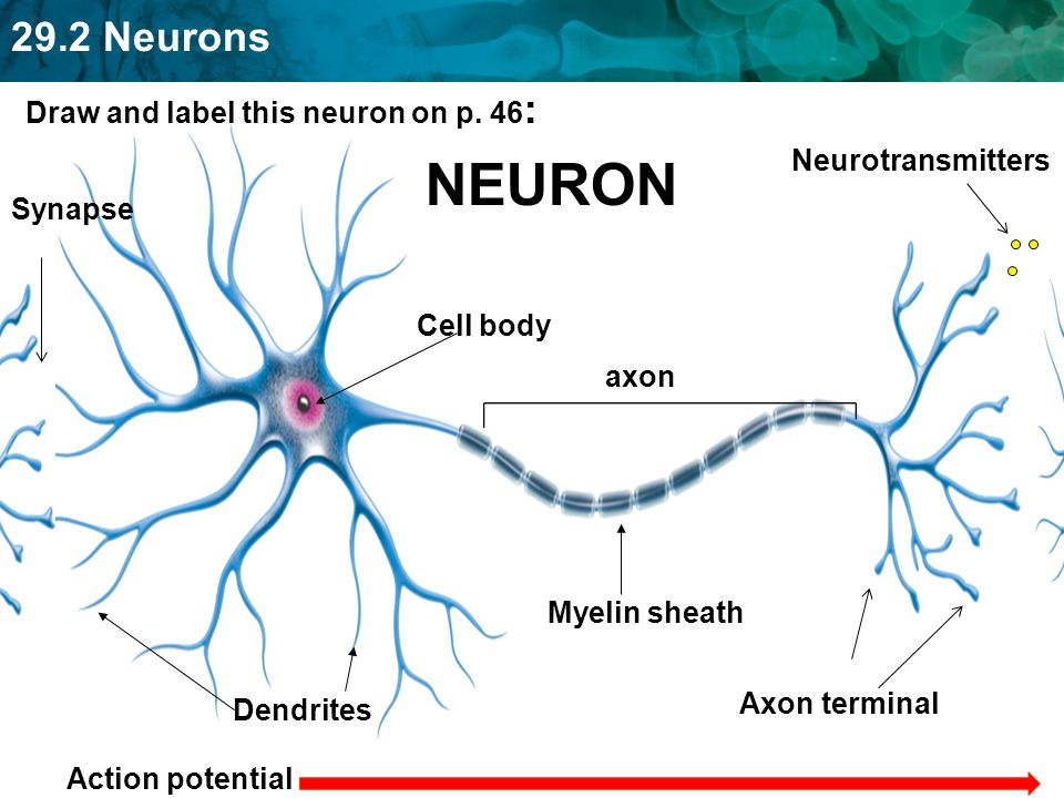 292 nervous system and neurons ppt video online download 20 neuron draw ccuart Image collections