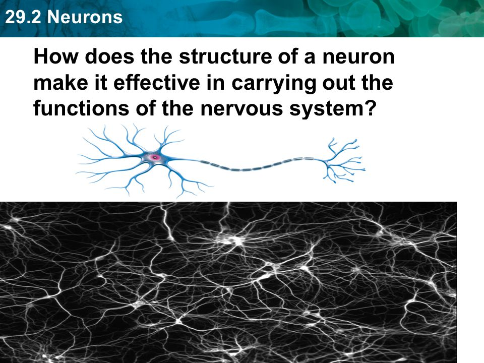 How does the structure of a neuron make it effective in carrying out the functions of the nervous system