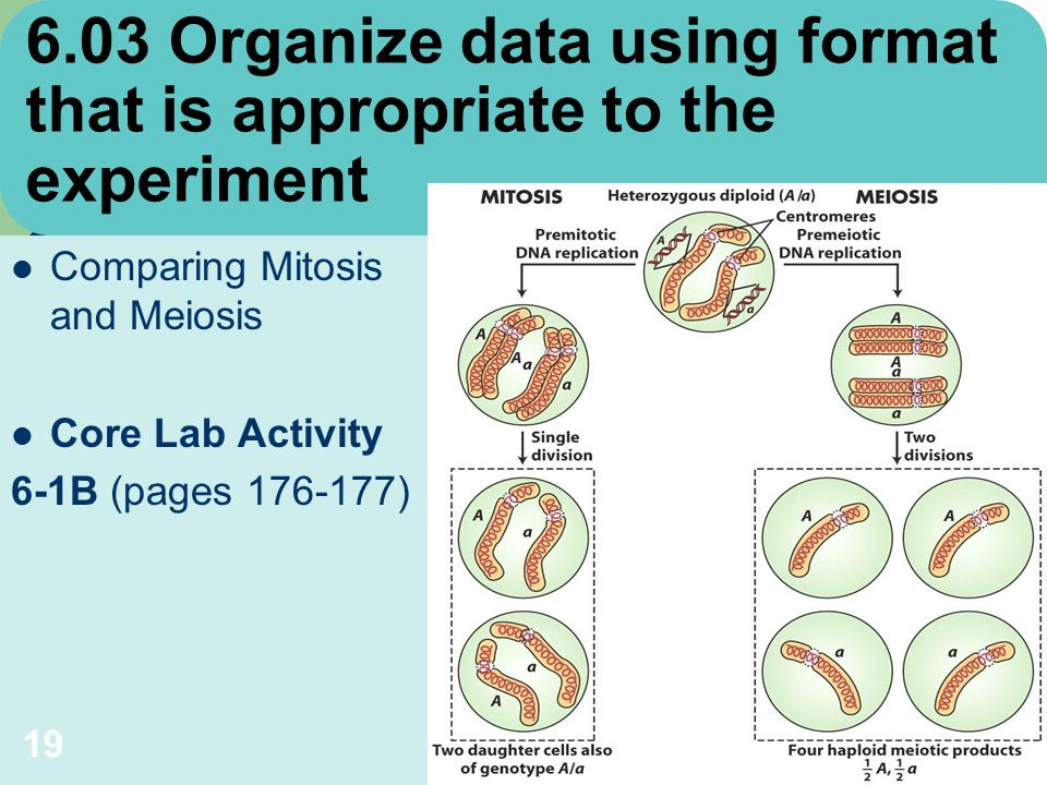 lab 3 ap sample2 mitosis & meiosis