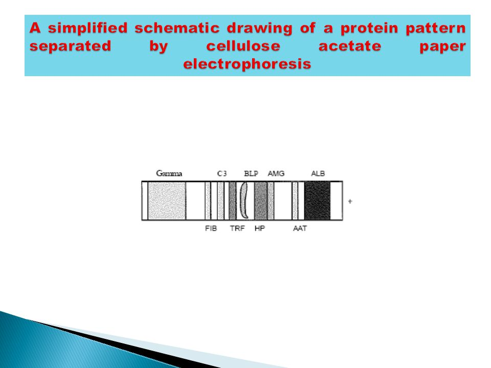 A simplified schematic drawing of a protein pattern separated by cellulose acetate paper electrophoresis