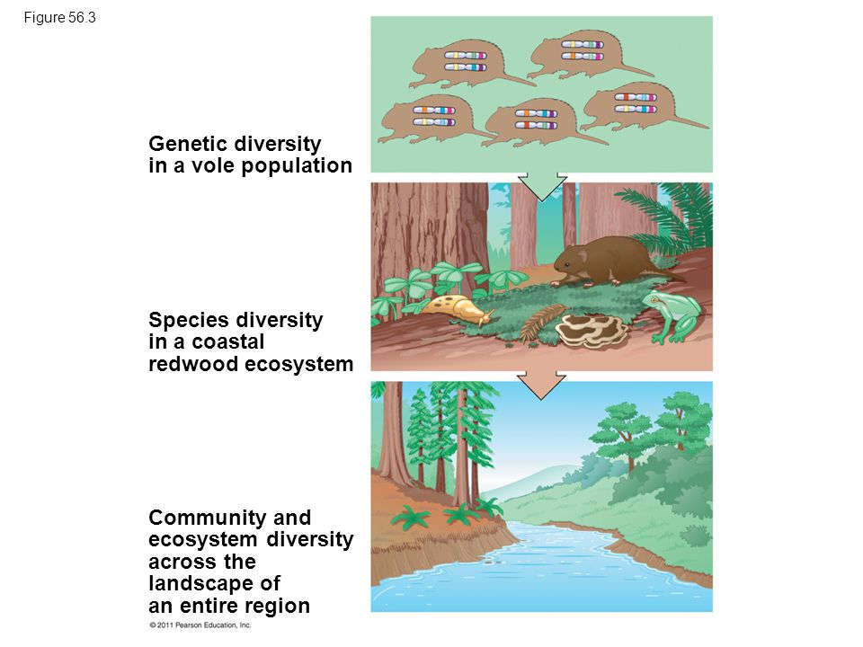 relationship between genetic population and species diversity
