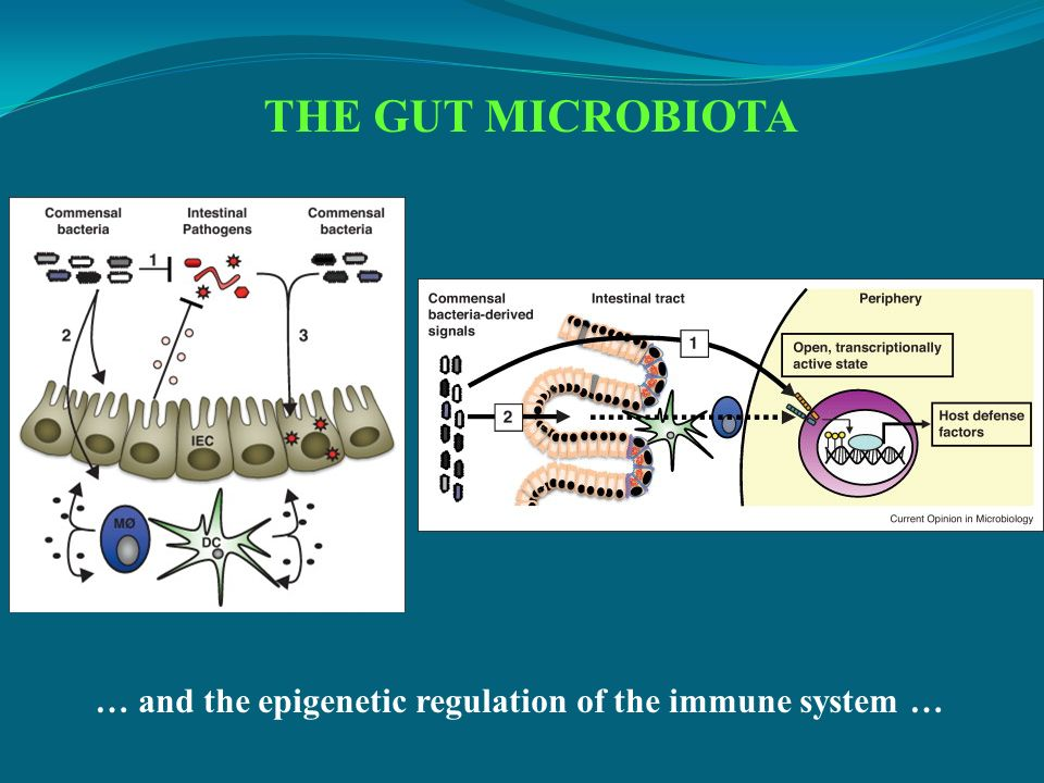 THE GUT MICROBIOTA … and the epigenetic regulation of the immune system …