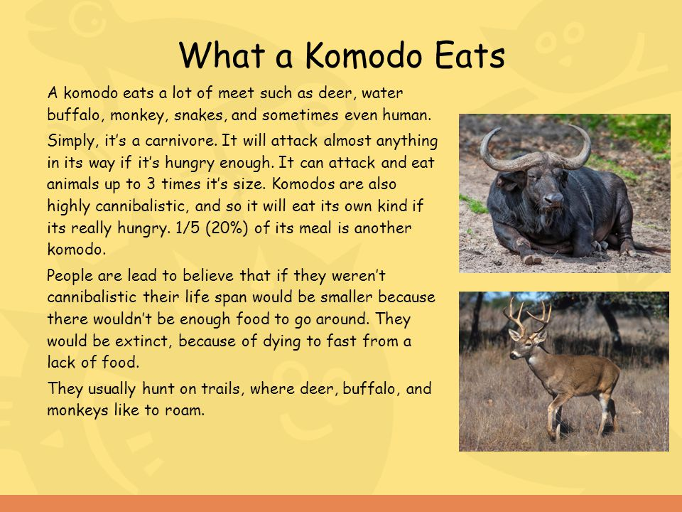 What a Komodo Eats A komodo eats a lot of meet such as deer, water buffalo, monkey, snakes, and sometimes even human.