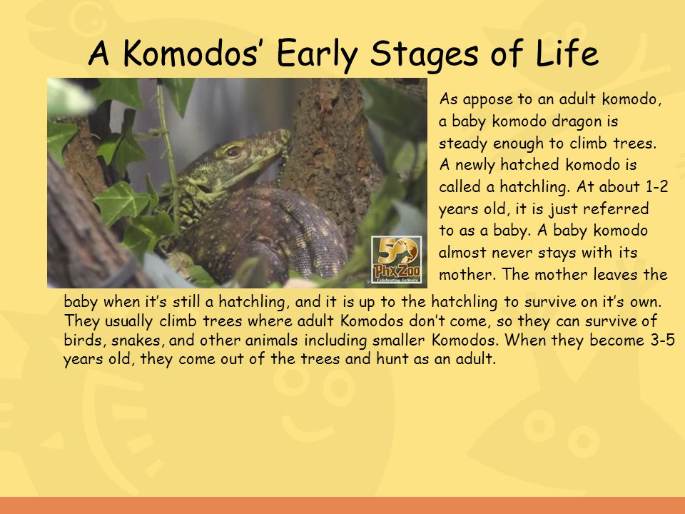 A Komodos' Early Stages of Life