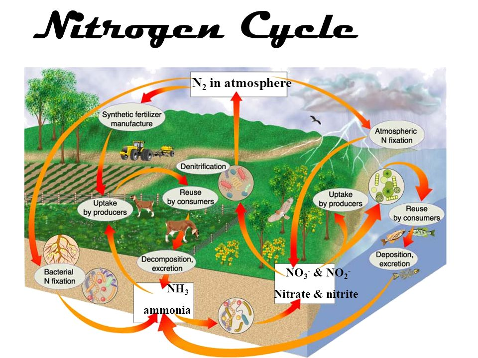 Nitrogen Cycle N2 in atmosphere NO3- & NO2- Nitrate & nitrite NH3