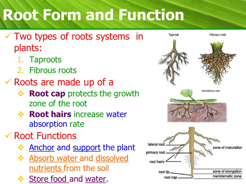 Plant Biology Form and Function. - ppt video online download