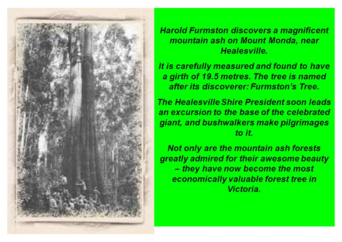 Harold Furmston discovers a magnificent mountain ash on Mount Monda, near Healesville.