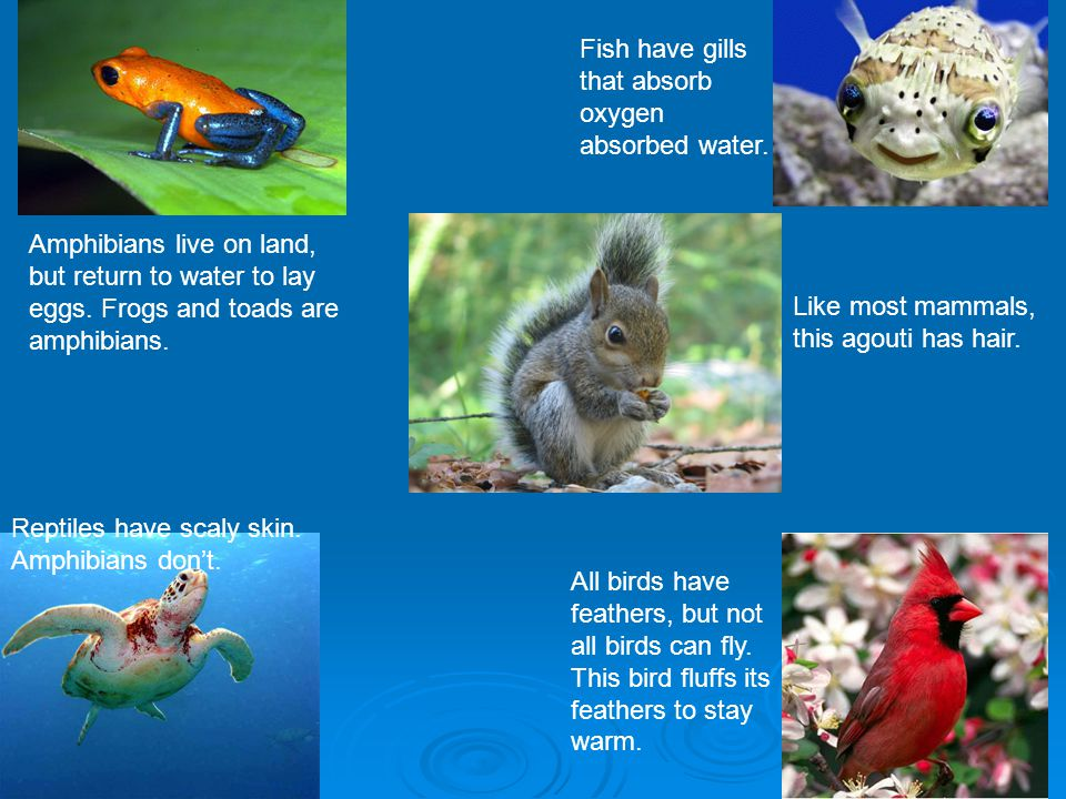 What are vertebrates and invertebrates ppt video online for Do all fish have gills