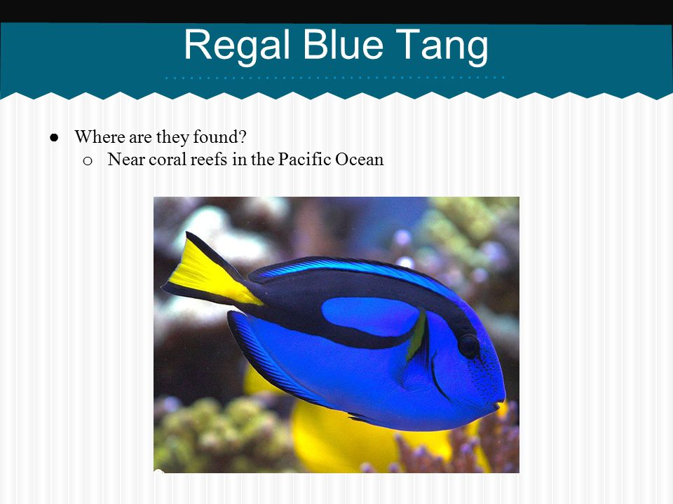Regal Blue Tang Where are they found
