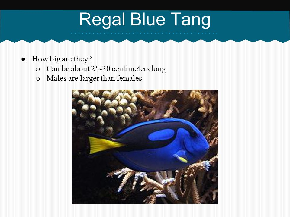 Regal Blue Tang How big are they Can be about centimeters long