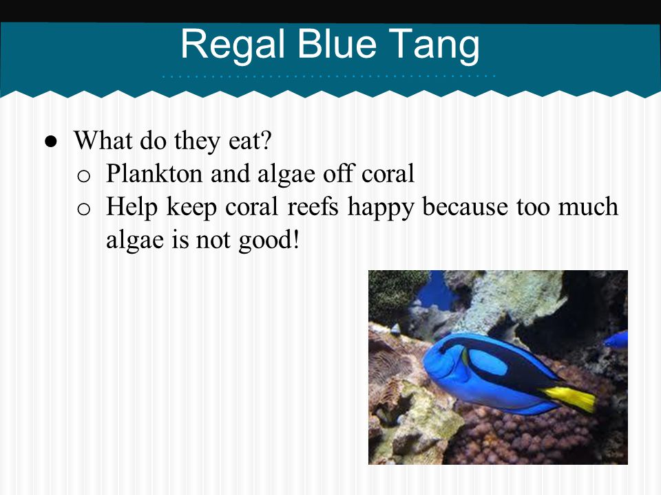 Regal Blue Tang What do they eat Plankton and algae off coral