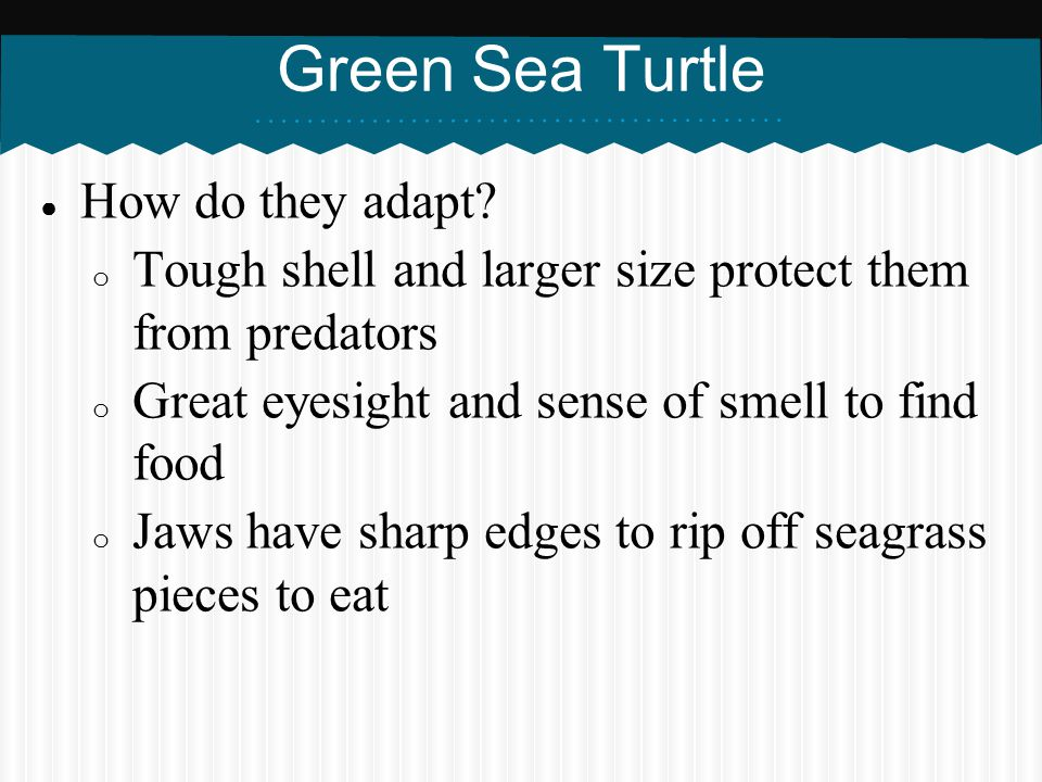 Green Sea Turtle How do they adapt