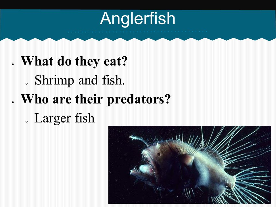 Anglerfish What do they eat Shrimp and fish. Who are their predators