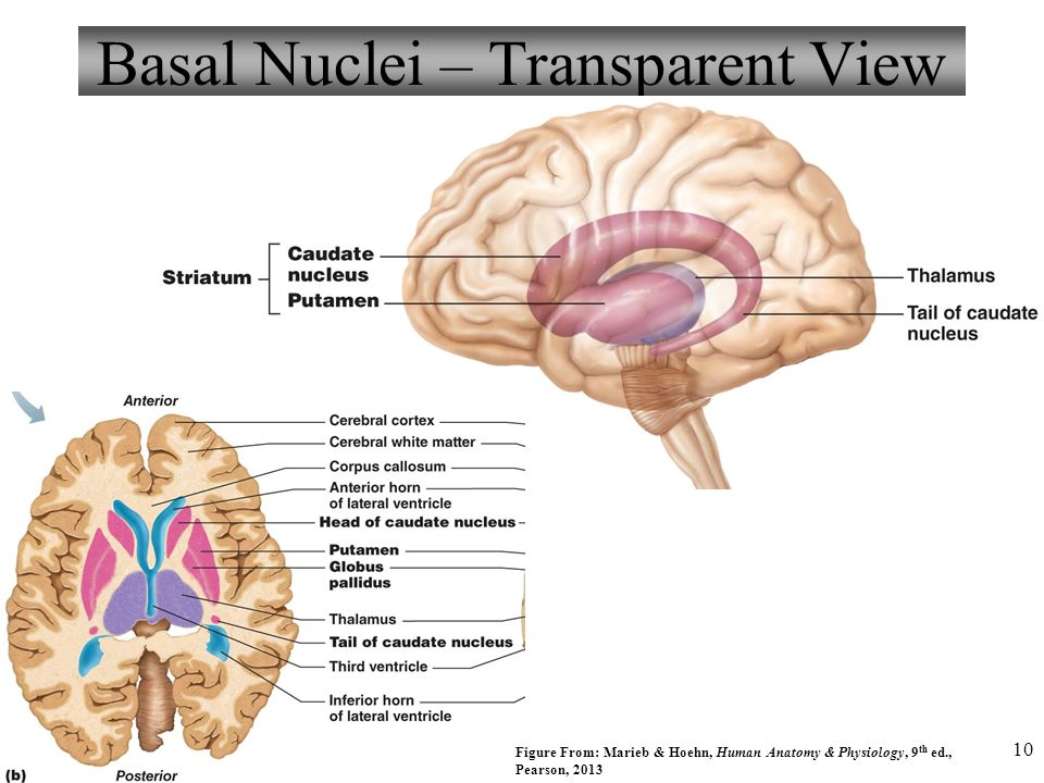 Triune brain  Wikipedia
