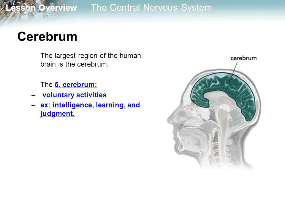 Cerebrum The largest region of the human brain is the cerebrum.