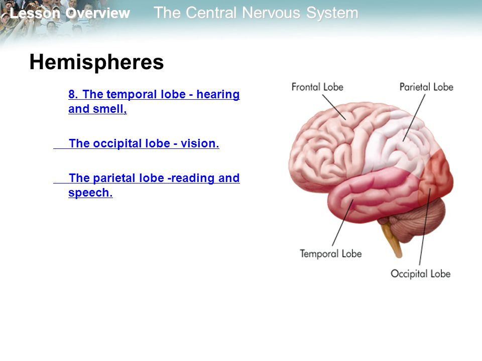 Hemispheres 8. The temporal lobe - hearing and smell,