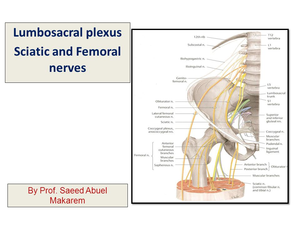 Lumbosacral plexus Sciatic and Femoral nerves - ppt video online ...