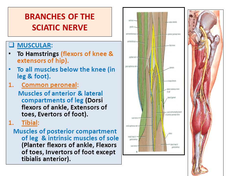 BRANCHES OF THE SCIATIC NERVE