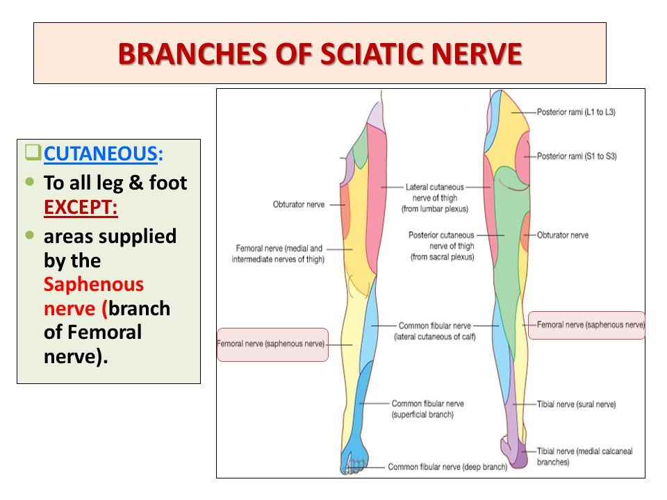 BRANCHES OF SCIATIC NERVE