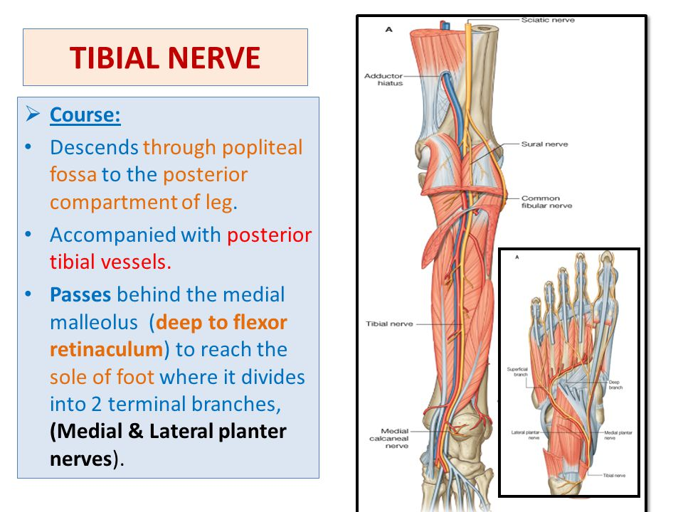 TIBIAL NERVE Course: Descends through popliteal fossa to the posterior compartment of leg. Accompanied with posterior tibial vessels.