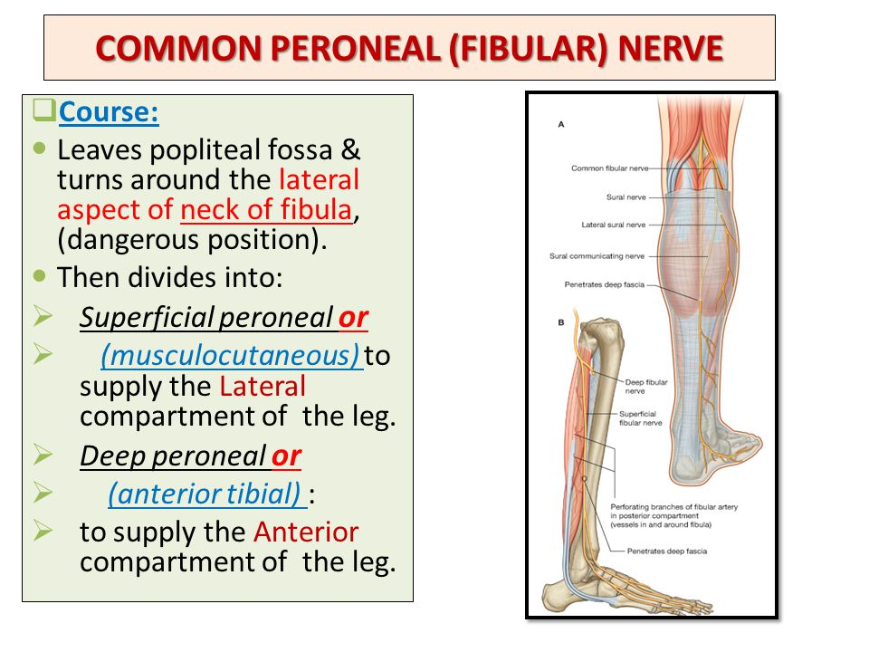 Lumbosacral plexus Sciatic and Femoral nerves - ppt video ...