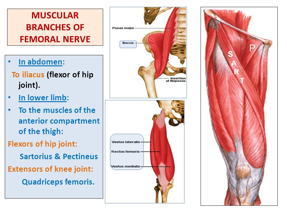 MUSCULAR BRANCHES OF FEMORAL NERVE