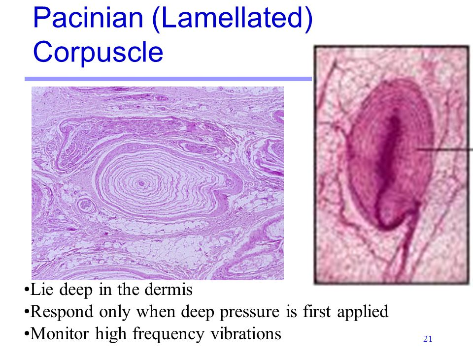 "pacinian corpuscles only respond to changes in Pacinian corpuscles only respond to changes in (quality management) ""change is the only constant"" assigned by: submitted by: rupam baruah barsha dutta assam institute of management ""change is the only constant"" life is continuously changing."