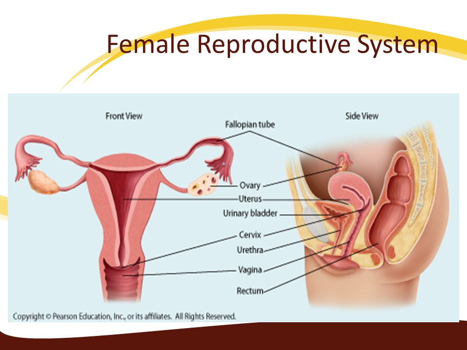 The reproductive system ppt video online download 16 female reproductive system ccuart Choice Image