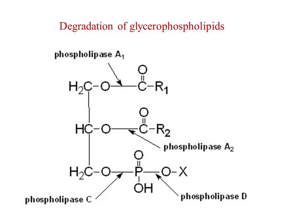 Degradation of glycerophospholipids