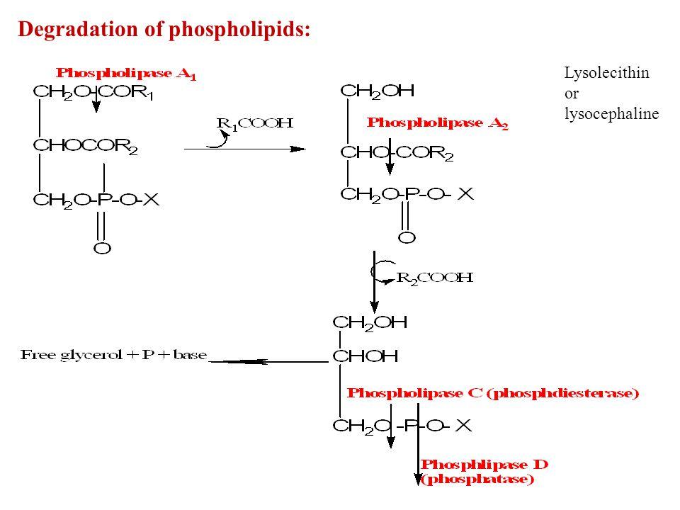 Degradation of phospholipids: