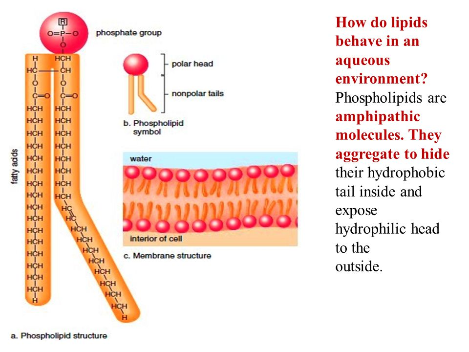 How do lipids behave in an aqueous environment