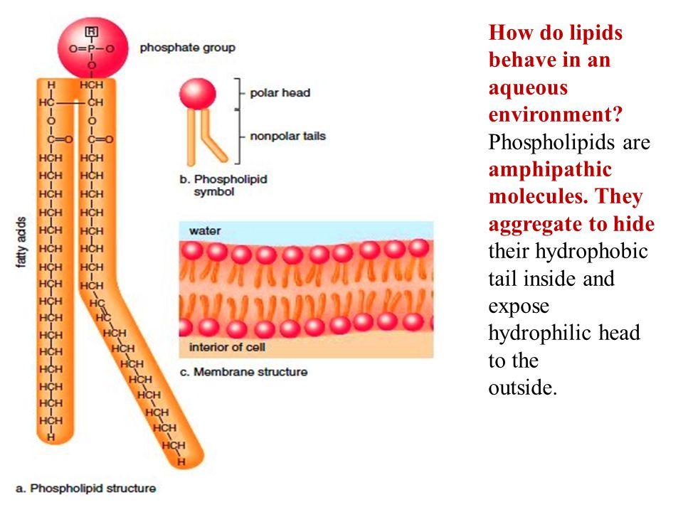 How do lipids behave in an aqueous environment