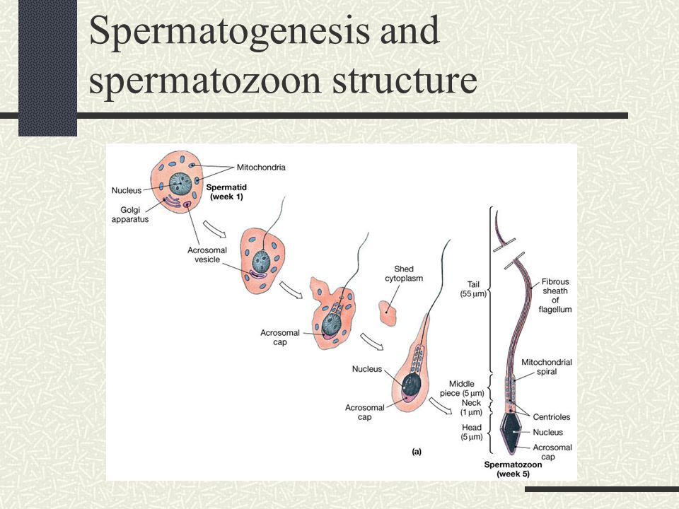 28 The Reproductive System. - ppt download