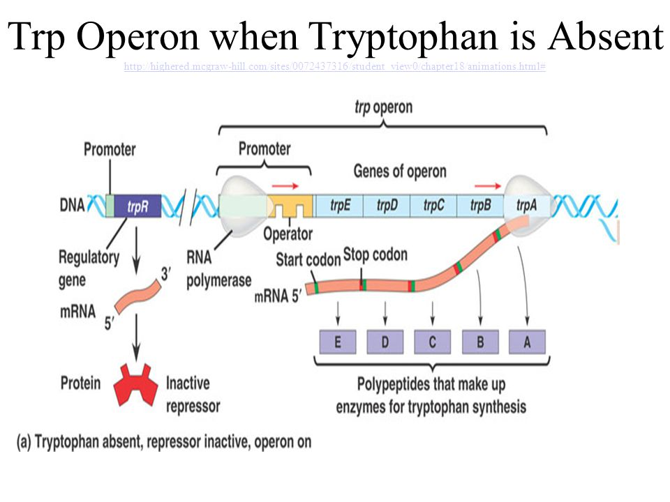 Video 2 dna the blueprint of life ppt video online download 63 trp operon when tryptophan is absent httphighered mcgraw hill malvernweather Gallery