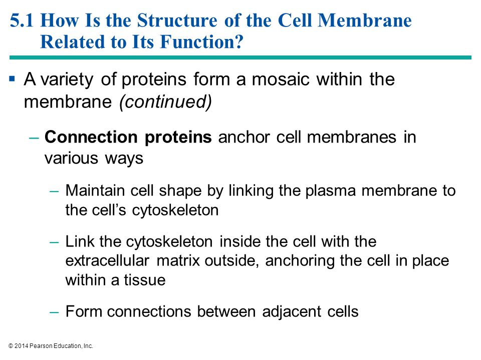 How are the shapes of cells related to their function