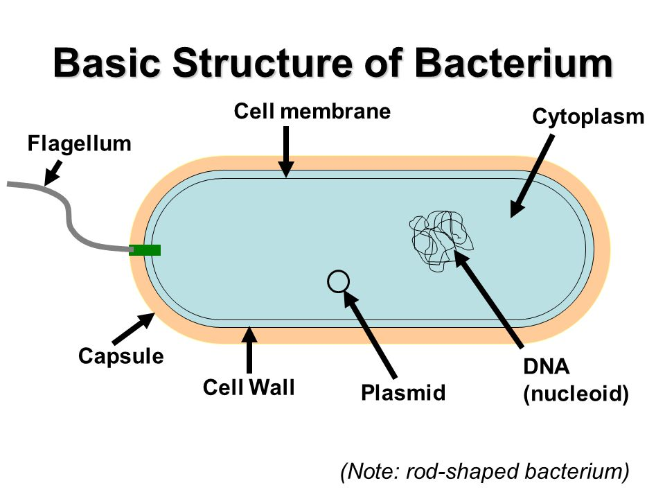 an analysis of the structure and life processes of bacteria The development of various cell types from a single cell is determined and regulated by a process cell structure: bacterial cells posses a protective.