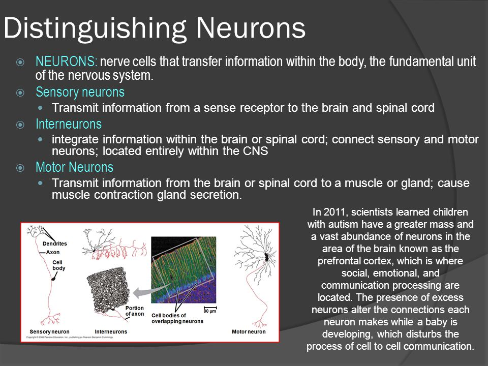 Neurons, Synapses, and signaling - ppt video online download