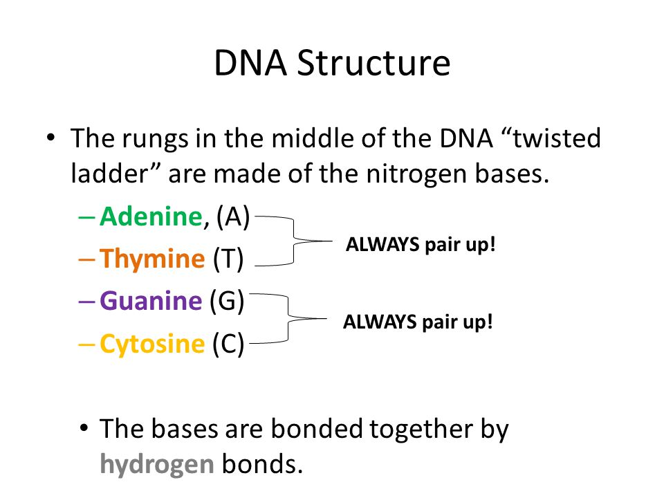 DNA Structure The rungs in the middle of the DNA twisted ladder are made of the nitrogen bases. Adenine, (A)