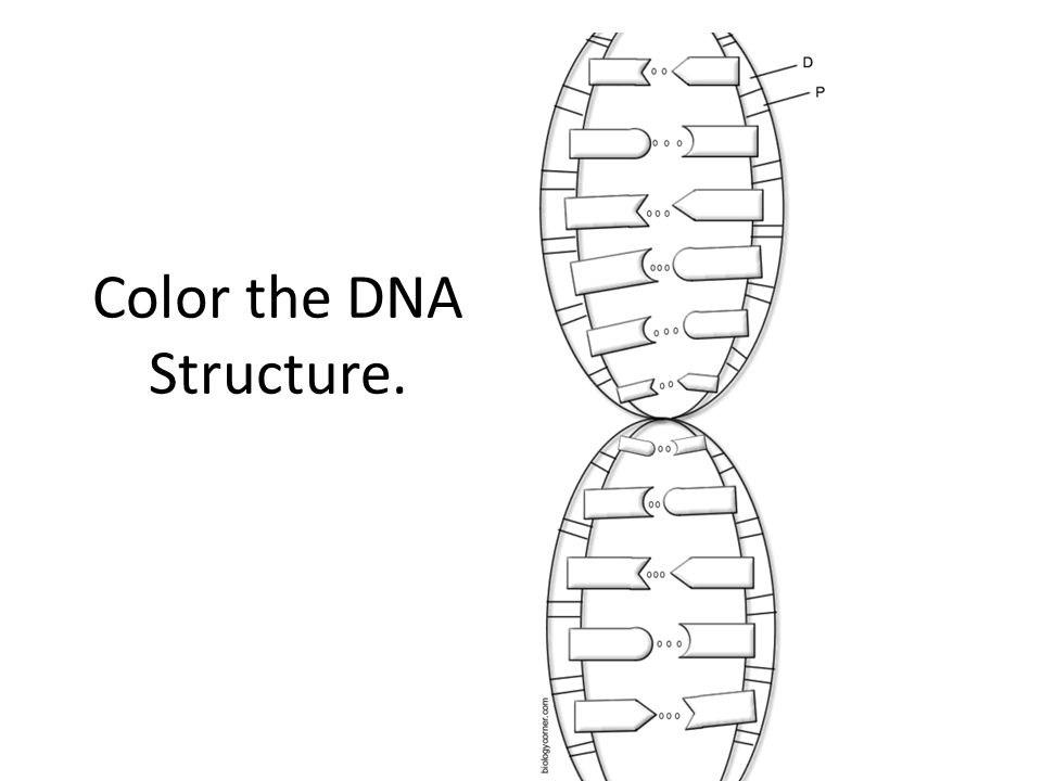 Color the DNA Structure.