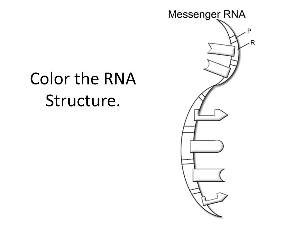 Color the RNA Structure.