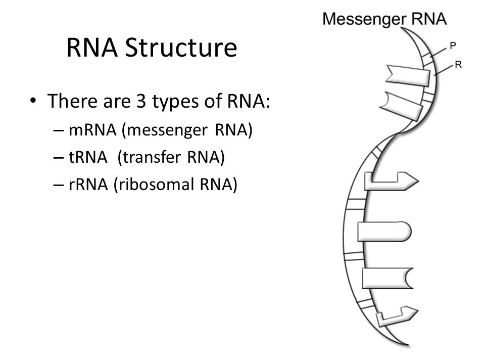 RNA Structure There are 3 types of RNA: mRNA (messenger RNA)