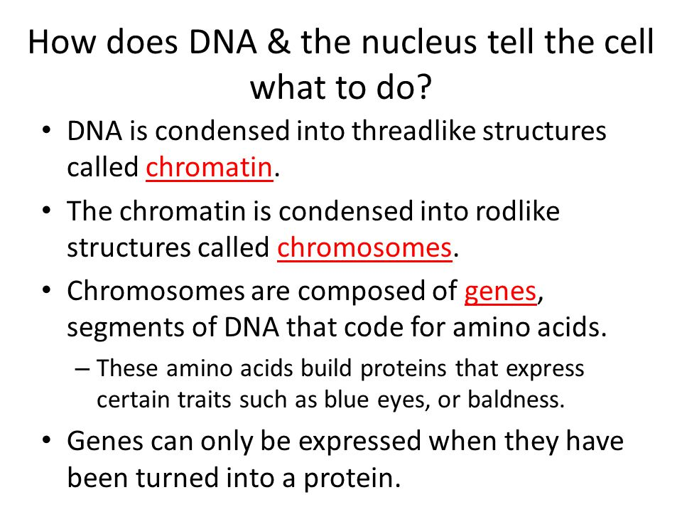 How does DNA & the nucleus tell the cell what to do