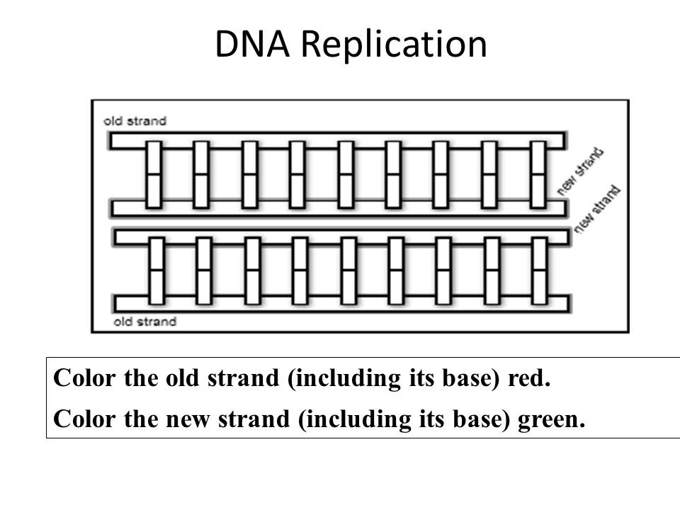 DNA Replication Color the old strand (including its base) red.
