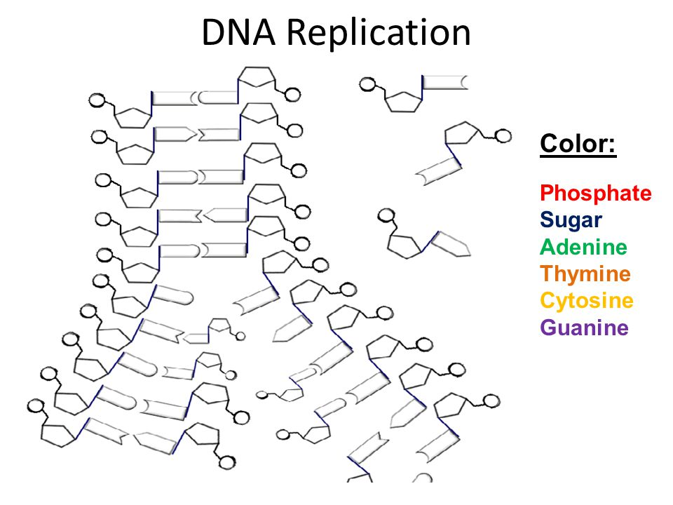 DNA Replication Color: Phosphate Sugar Adenine Thymine Cytosine