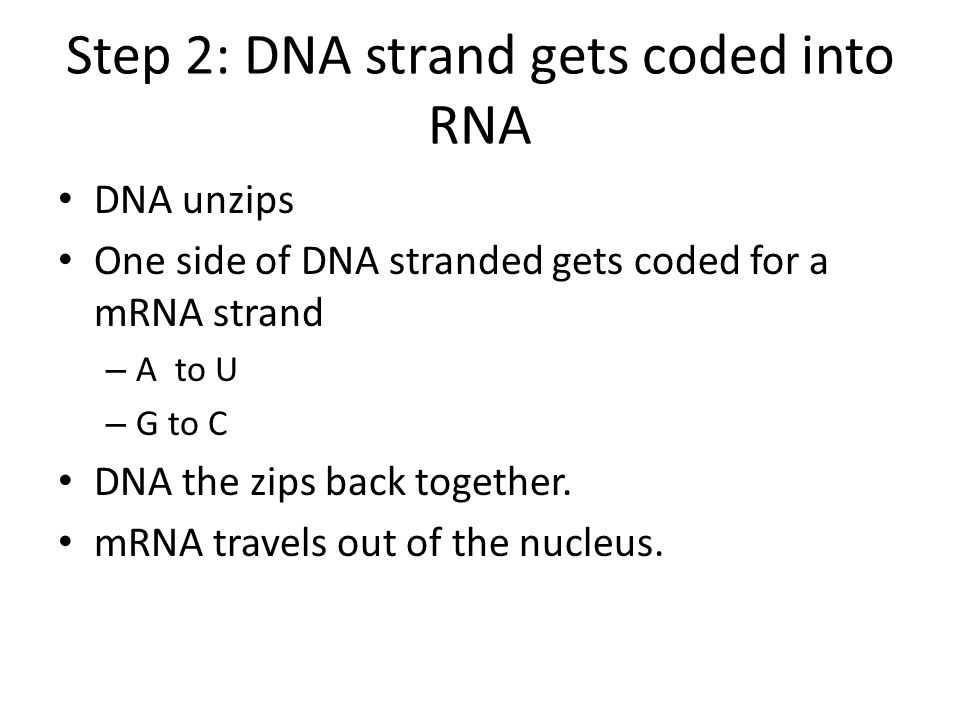 Step 2: DNA strand gets coded into RNA