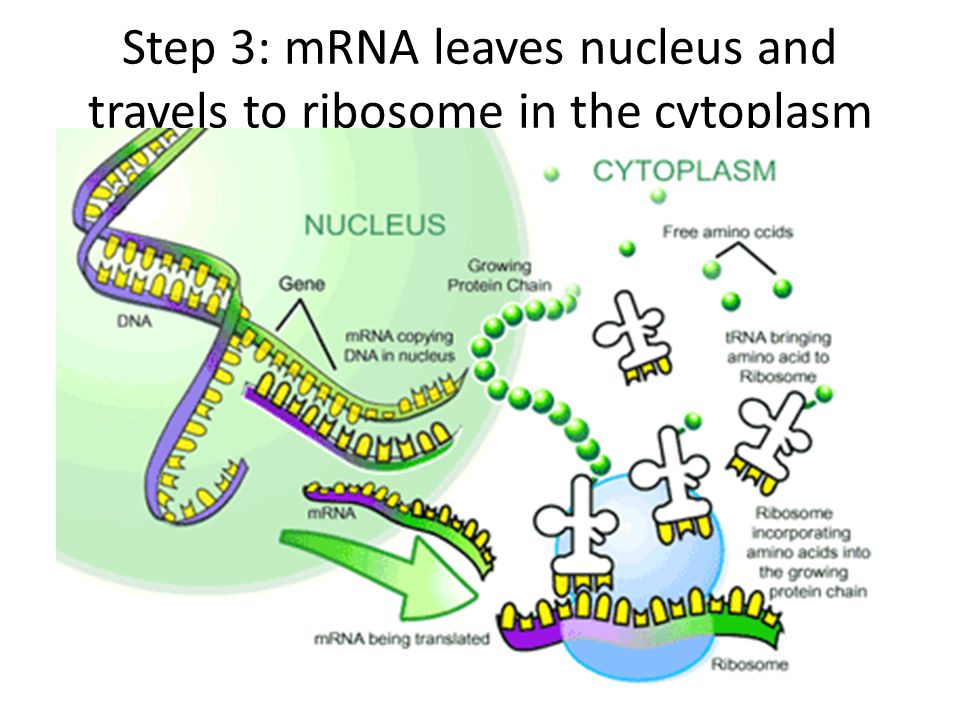 Step 3: mRNA leaves nucleus and travels to ribosome in the cytoplasm