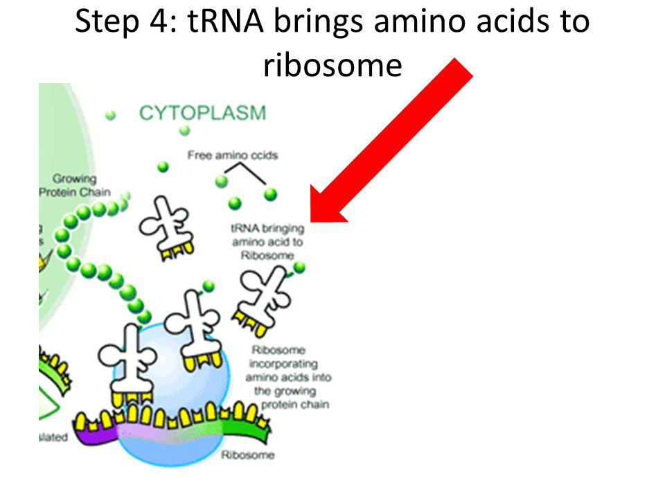 Step 4: tRNA brings amino acids to ribosome